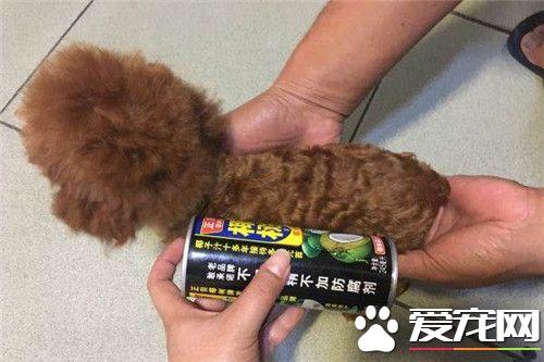 茶杯泰迪犬鉴别 茶杯泰迪犬的鉴别方法